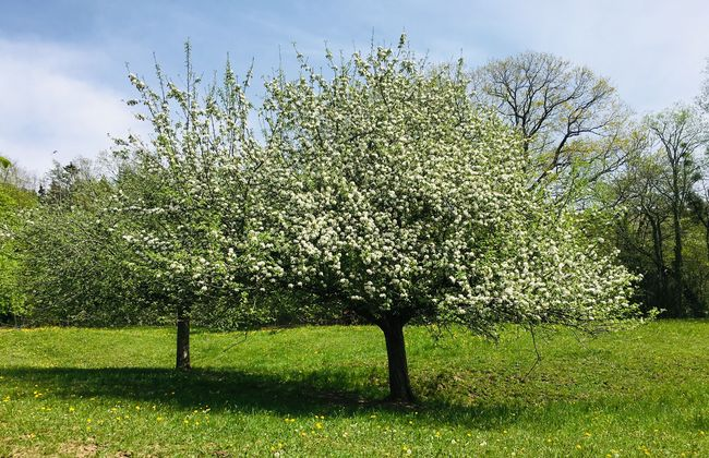 Obstbaum in Markdorf in voller Blüte